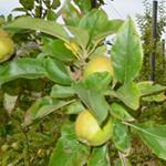 Produit fruits Amapetite terre