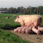Produits porc Amapetite terre
